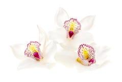 3 белых орхидеи   Стоковая Фотография