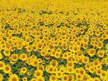 3 блаженных солнцецвета поля Стоковая Фотография