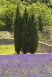3 вала сосенки стоя в поле лаванды. Стоковое Изображение RF