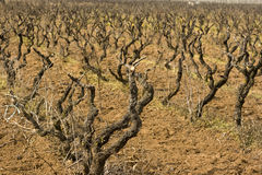 3 виноградины ветви Стоковые Фото