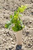 3 детеныша виноградника лоз виноградины Стоковые Изображения RF