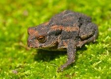 3 детеныша жабы gargarizans bufo Стоковые Фотографии RF