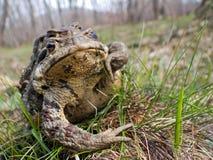 3 жабы 2 Стоковые Изображения