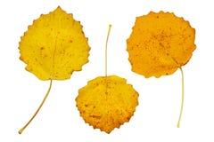 3 желтых листь осени Стоковые Фотографии RF