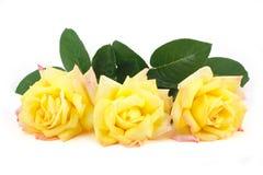 3 желтых розы Стоковые Изображения