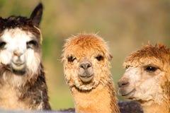 3 женских альпаки Стоковое Фото