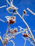 3 замороженной ягоды Стоковое Фото