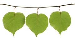 3 зеленых листь Стоковая Фотография