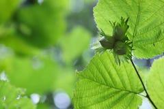 3 зеленых фундука с листьями Стоковые Фото