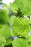 3 зеленых фундука Стоковое Изображение RF