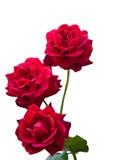 3 красных розы Стоковое Изображение RF