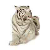 3 лет белизны тигра Стоковое Изображение RF