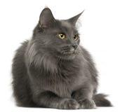 3 лет Мейна енота кота старых Стоковое Изображение RF