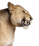 3 лет спутывать panthera львицы leo старых Стоковые Фото