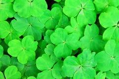 3 листь shamrock Стоковое фото RF