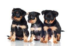 3 маленьких прелестных щенят Стоковая Фотография RF
