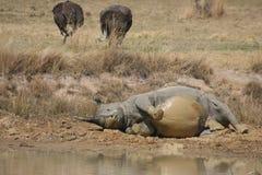 3 носорога Стоковое Изображение RF