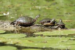 3 покрашенных черепахи на журнале Стоковое Изображение RF