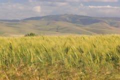 3 поля приближают к пшенице pendleton Стоковые Изображения