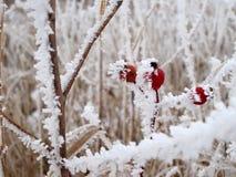 3 прерия замерли ягодами, котор Стоковая Фотография