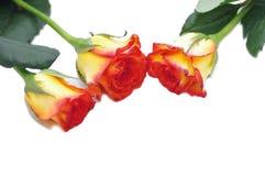 3 розы изолированной на белизне Стоковые Изображения