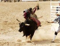 3头公牛骑马 库存图片