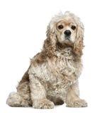 3美国斗鸡家老坐的西班牙猎狗年 免版税库存照片