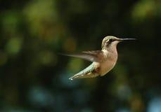 3哼唱着的鸟 免版税库存照片