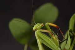 3捕食的螳螂 免版税库存照片