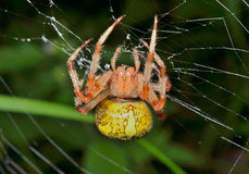 Сад-спайдер на сети паука 3 Стоковые Фото