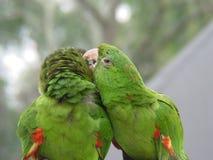 3对夫妇绿化鹦鹉 免版税库存图片