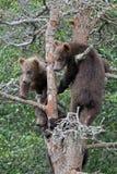 3 4 lisiątek grizzly drzewo Fotografia Stock