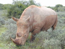 3 4 noshörning arkivfoton