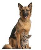 3 4 tyska gammala herdeår för chihuahua Royaltyfri Fotografi