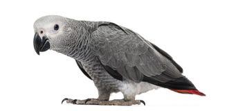 非洲人般的灰色鹦鹉(3个月) 免版税库存照片