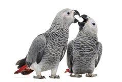 两非洲人般的灰色鹦鹉(3个月)啄 免版税库存照片