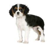 3 5个骑士查尔斯国王月西班牙猎狗 库存照片