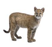 3 5个concolor崽月美洲狮 免版税图库摄影