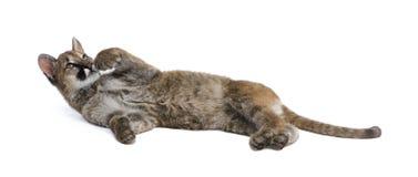 3 5个concolor崽月美洲狮 免版税库存照片