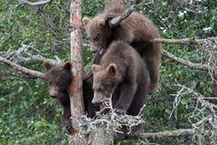 3 5 lisiątek grizzly drzewo zdjęcia stock