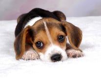 3小猎犬 免版税图库摄影