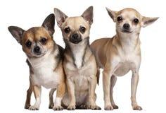 3 6个奇瓦瓦狗月三年 免版税图库摄影