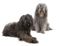 3 6加泰罗尼亚的老护羊狗年 免版税库存照片