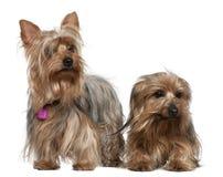 3 6 gammala terriers två år yorkshire Fotografering för Bildbyråer