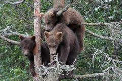 3 6 lisiątek grizzly drzewo Fotografia Stock