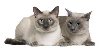3 8 år för månader för katt liggande gammala siamese Fotografering för Bildbyråer