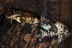 3 żaby dwa Zdjęcie Stock