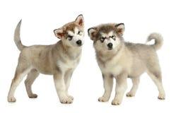 3 alaski trakenu malamute miesiąc szczeniak dwa Zdjęcia Stock