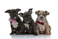 Free 3 American Bully Dogs With Pink And Red Bowties Sitting Stock Images - 140890584