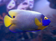 3 angelfish blueface Zdjęcie Stock